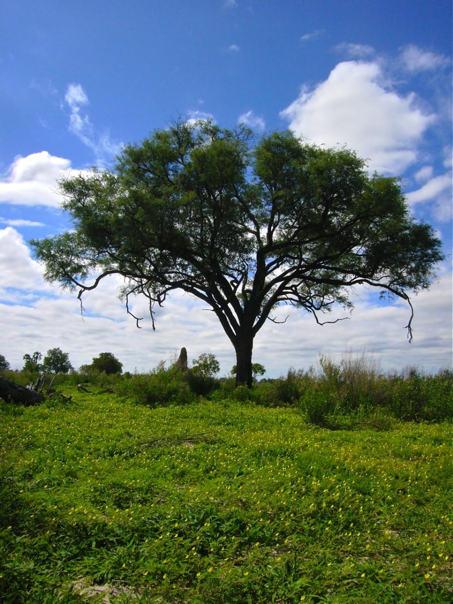ボツワナの木